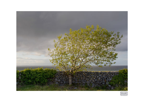 Contemporary Irish Landscape Prints | A windswept tree in The Burren in County Clare on the Wild Atlantic Way