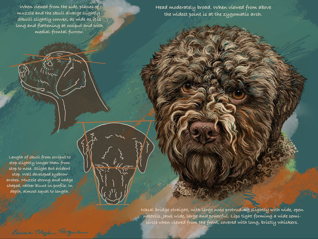 Lagotto Romagnolo Illustrated UK Breed standard- Head and Skull