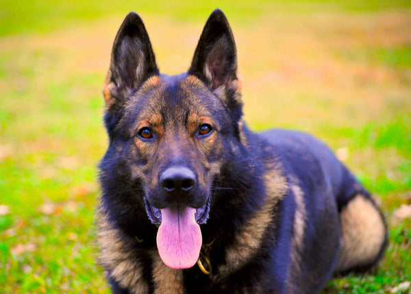What makes a good protection dog?