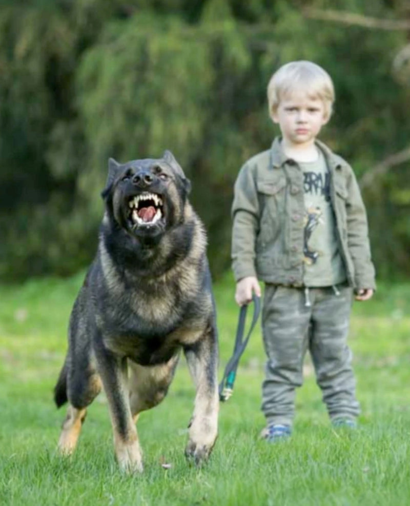 VBH German Shepherds for home protection