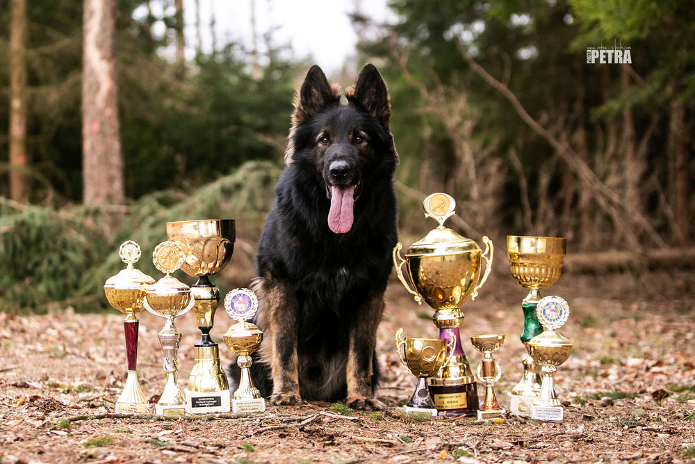 Vom Berk House award winning German Shepherds