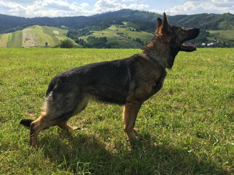 Carry is our Slovak imported female.  She is a Svv1 with incredible defense drives and a broad, aggressive head and exceptionally deep bites.  She is large and incredibly athletic and powerful.  Good conformation and she is DM clear.  She is foundationally exceptional as a GSD in our breeding program and we are proud to have her.