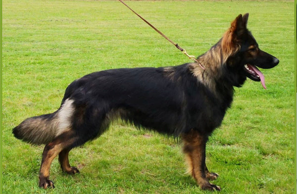 Zaba is our Czech Rebublic imported, long haired sable female GSD.  She is well bred with an excellent show rating, clear for DM, and good hip and elbow health.  She is fun, energetic and loves people.  SHe will make an exceptional foundation to our breeding program, and possesses champion blood lines on both sides of her stacked pedigree.  She has good bone and conformation.