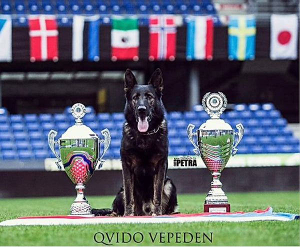 Qvido Vepeden, world class chamion, 2x WUSV champion, Czech national champion.  The perfect combination of working ability and family companionship.  Phenominal breeding coupled with an insane ability to protect, obey, and track, he is the perfect GSD.  Great conformation, temperment, personality, on off switch.  Makes an ideal sire for home defense, personal protection, guard dogs, family pets.  Literally the most well rounded GSD in the world, and now Vomberkhaus is the exclusive U.S. breeder!