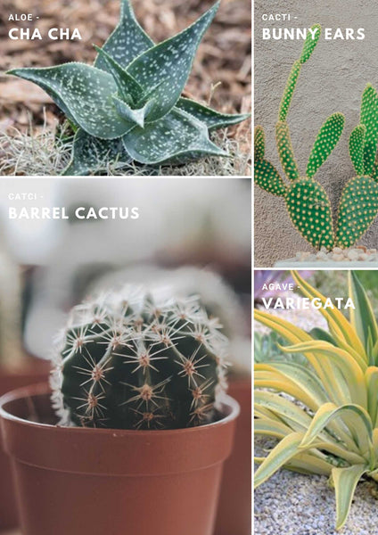 IM3 Types of Cactus Agave Aloe