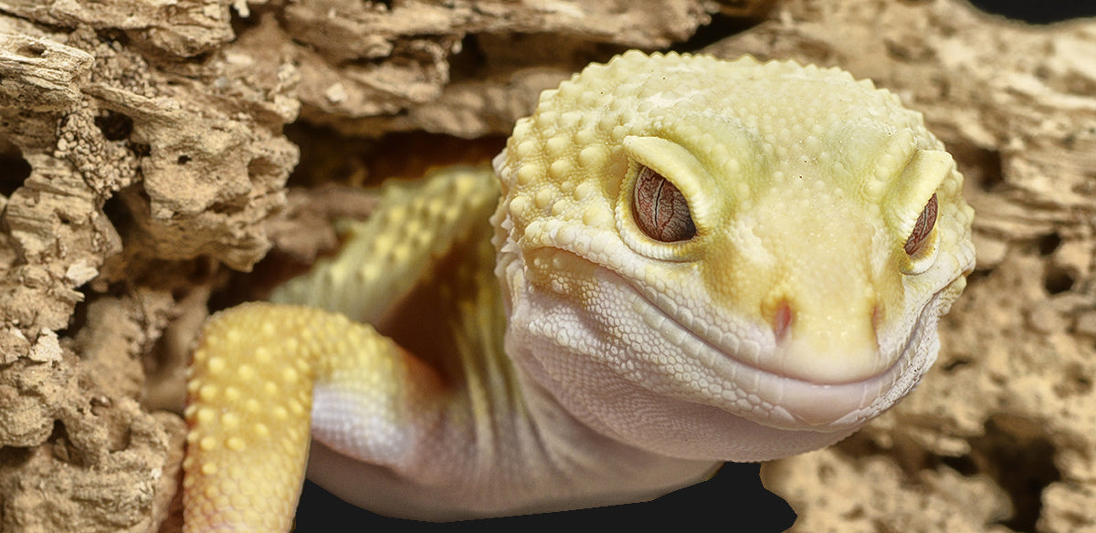 Our range of complete reptile kits are species specific and compiled for the most common pet reptiles including bearded dragons, ball pythons, leopard geckos, veiled chameleons, colubrid snakes and many more.