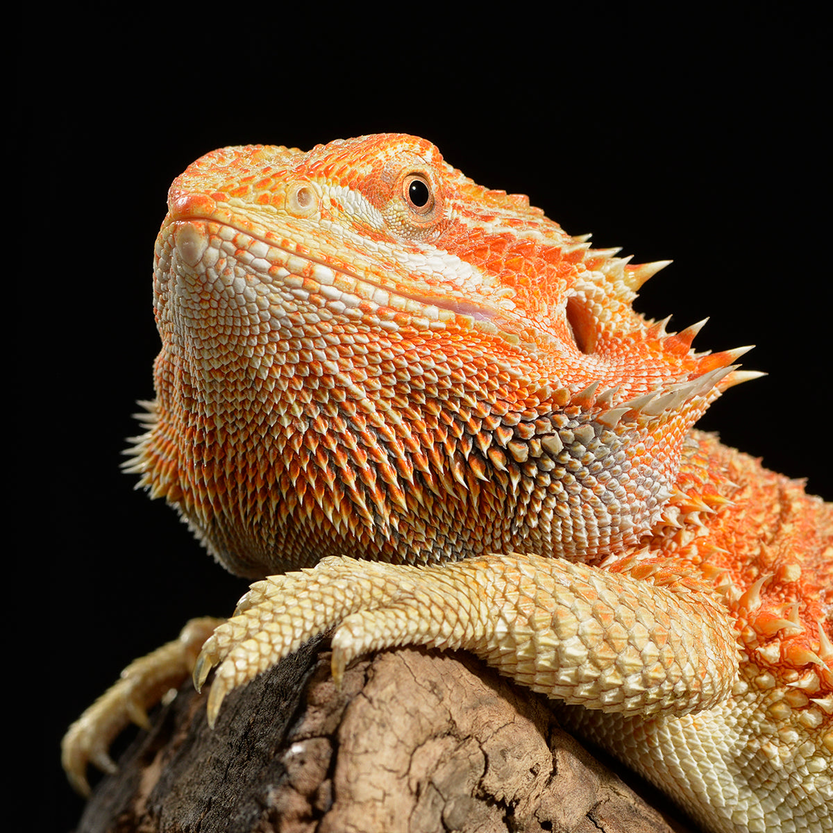 Recommended Products for Bearded Dragons