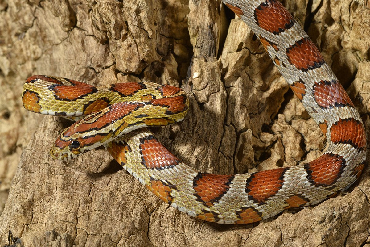 Recommended Products for Corn Snakes