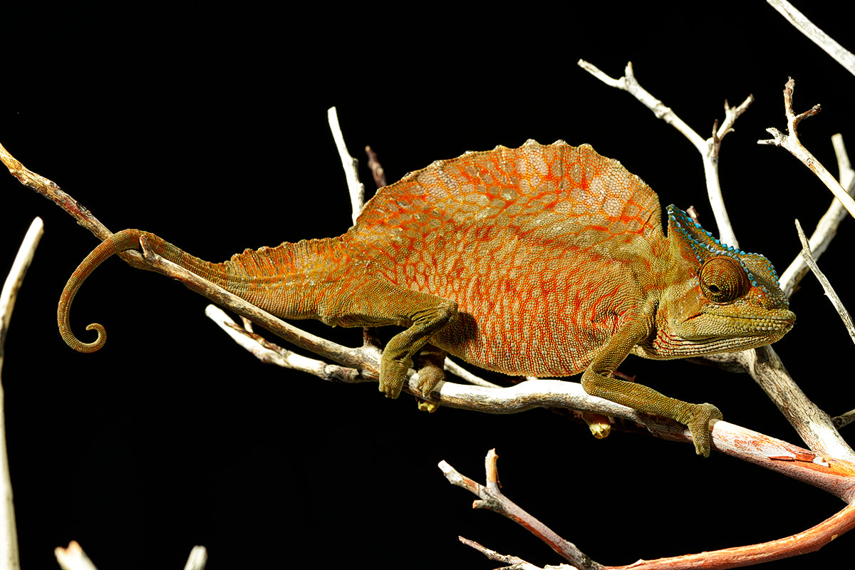Recommended Products for Chameleons