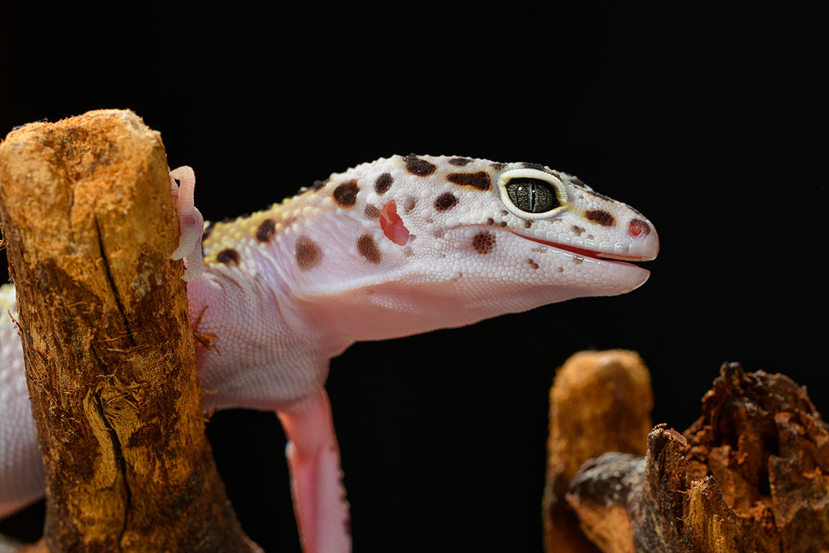 Recommended Products for Leopard Geckos