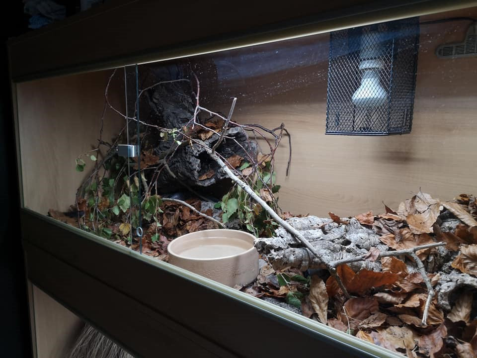 My own snake enclosure, with deep leaflitter to allow concealed movement and cork bark hides on the floor and in elevated positions.