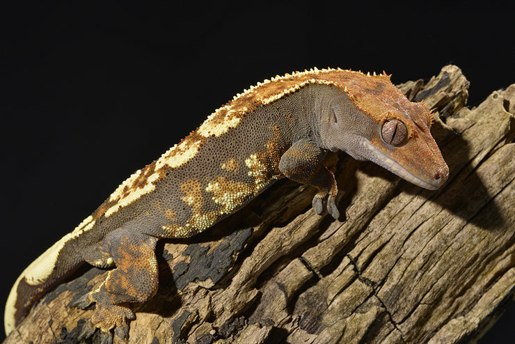 This arboreal gecko was once threatened by extinction but thanks to the hard work of breeders around the world, they are thriving in captivity but do require the right habitat with low temps and higher humidity.