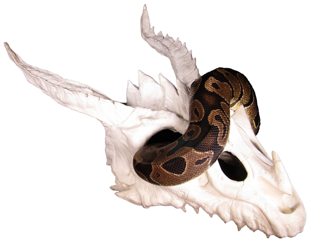 dragon skull large hide with ball python 2