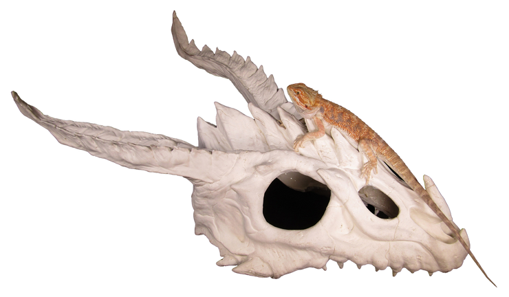 dragon skull large hide with bearded dragon 1