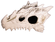 small dragon skull hide 2