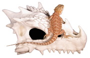 small dragon skull hide with bearded dragon