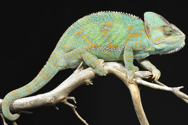 As a very hardy species, veiled chameleons do very well as pets but require ventilation and humidity making their habitat design crucial.
