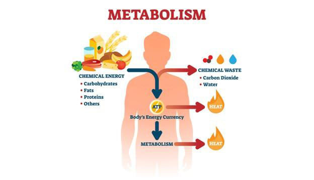 metabolic system infographic