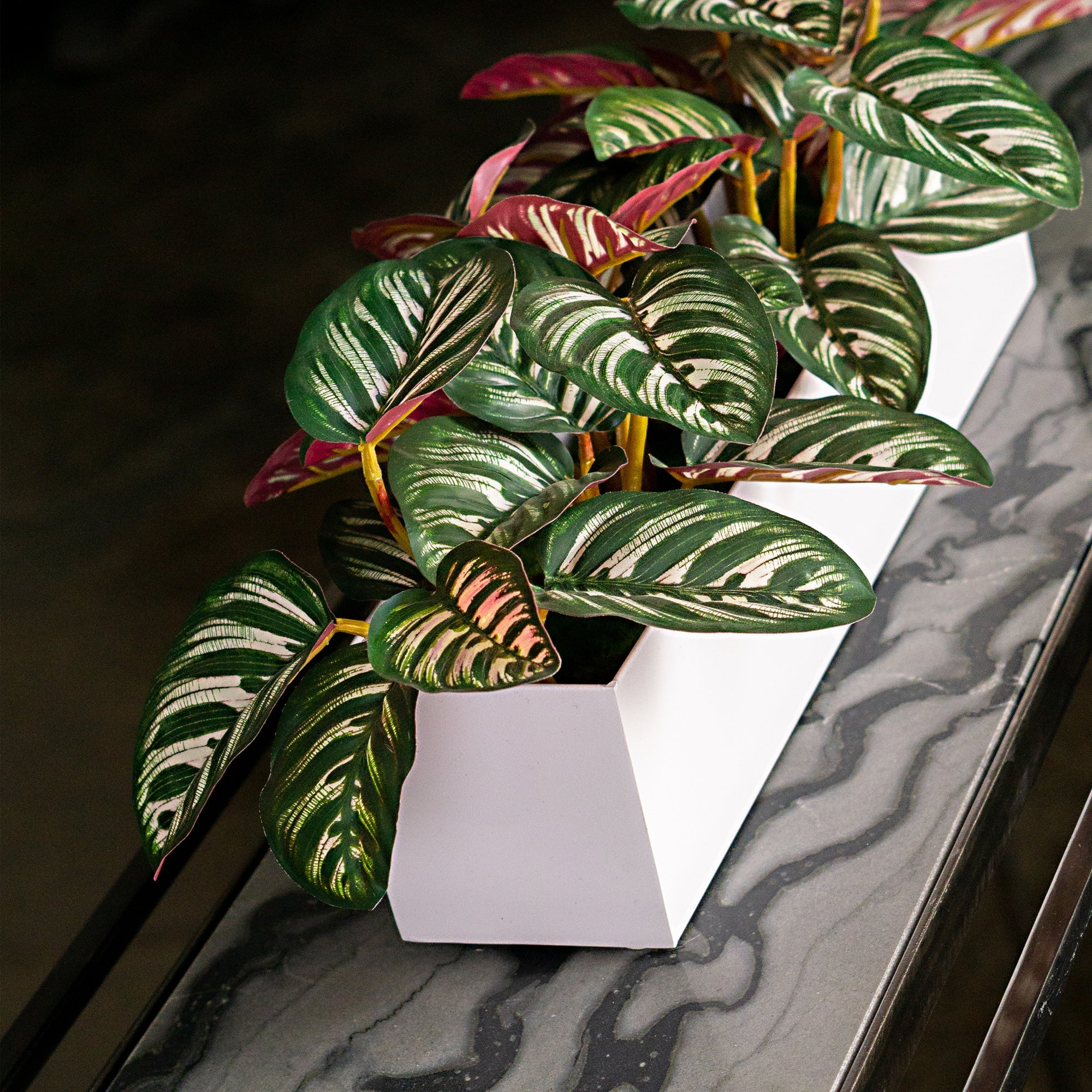 Calathea in Rectangle Vase