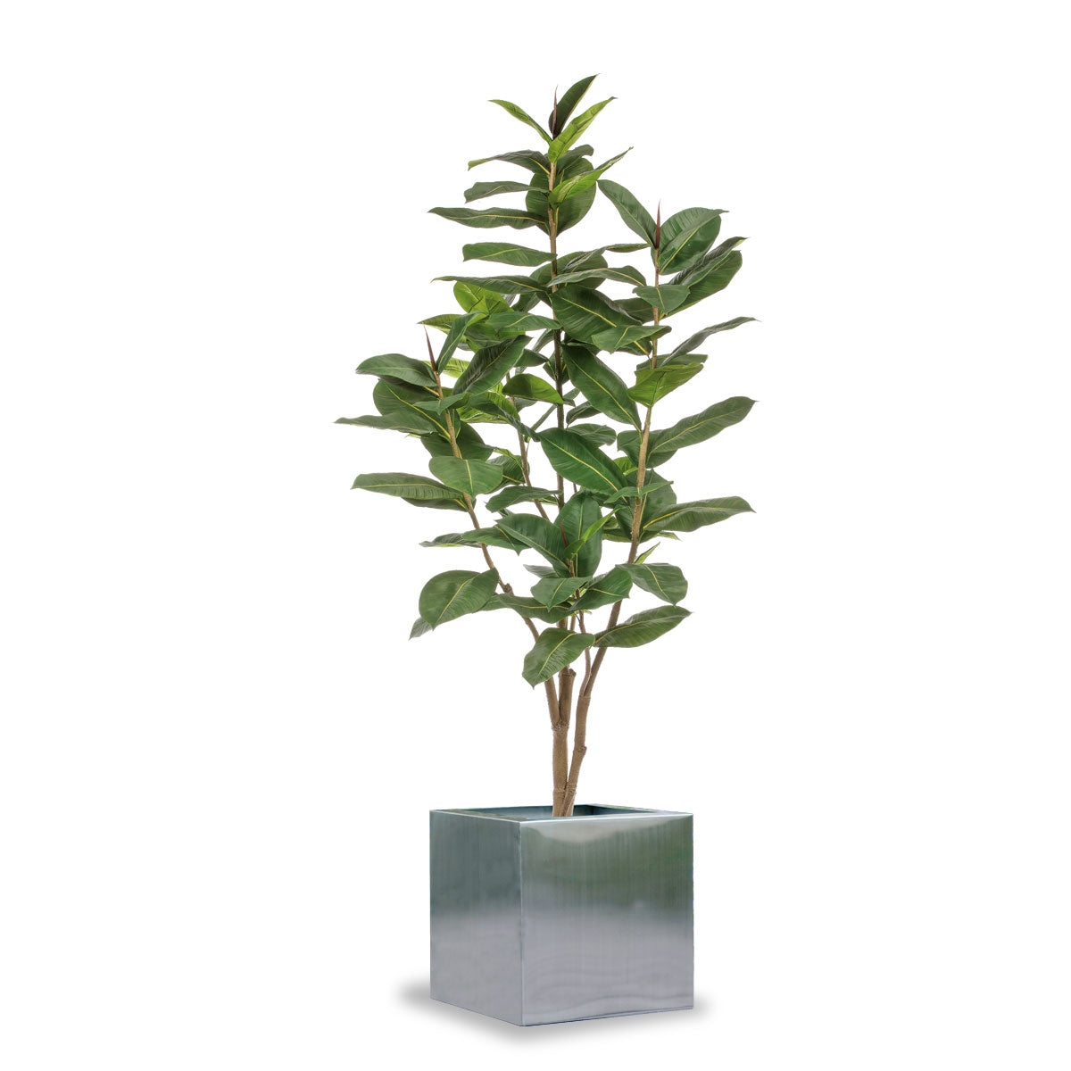 Rubber Ficus Tree in Stainless Square Planter