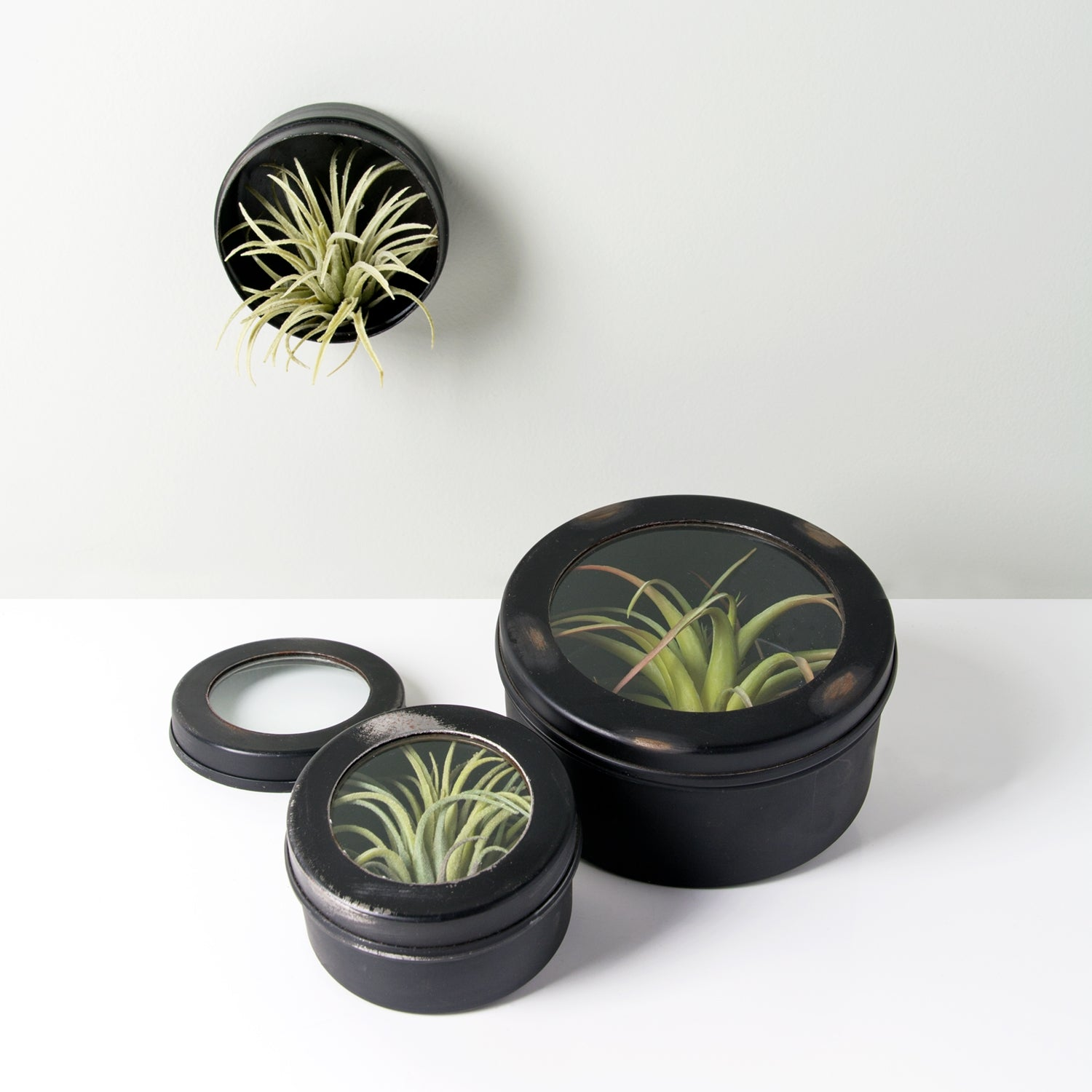 "Air Plant Scientific Display Box, 3.5""D"