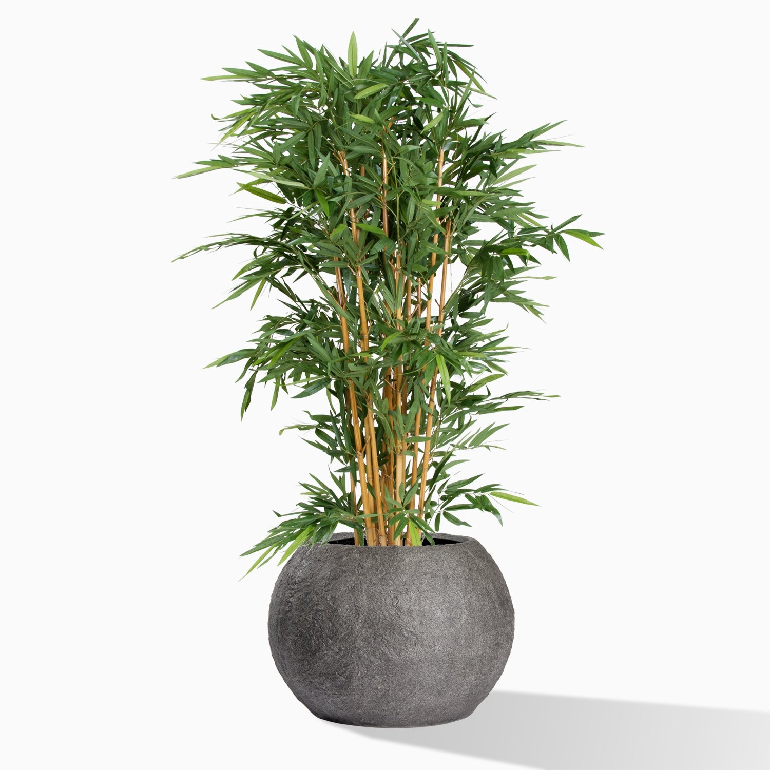 Bamboo Tree in Piedra Planter, SM