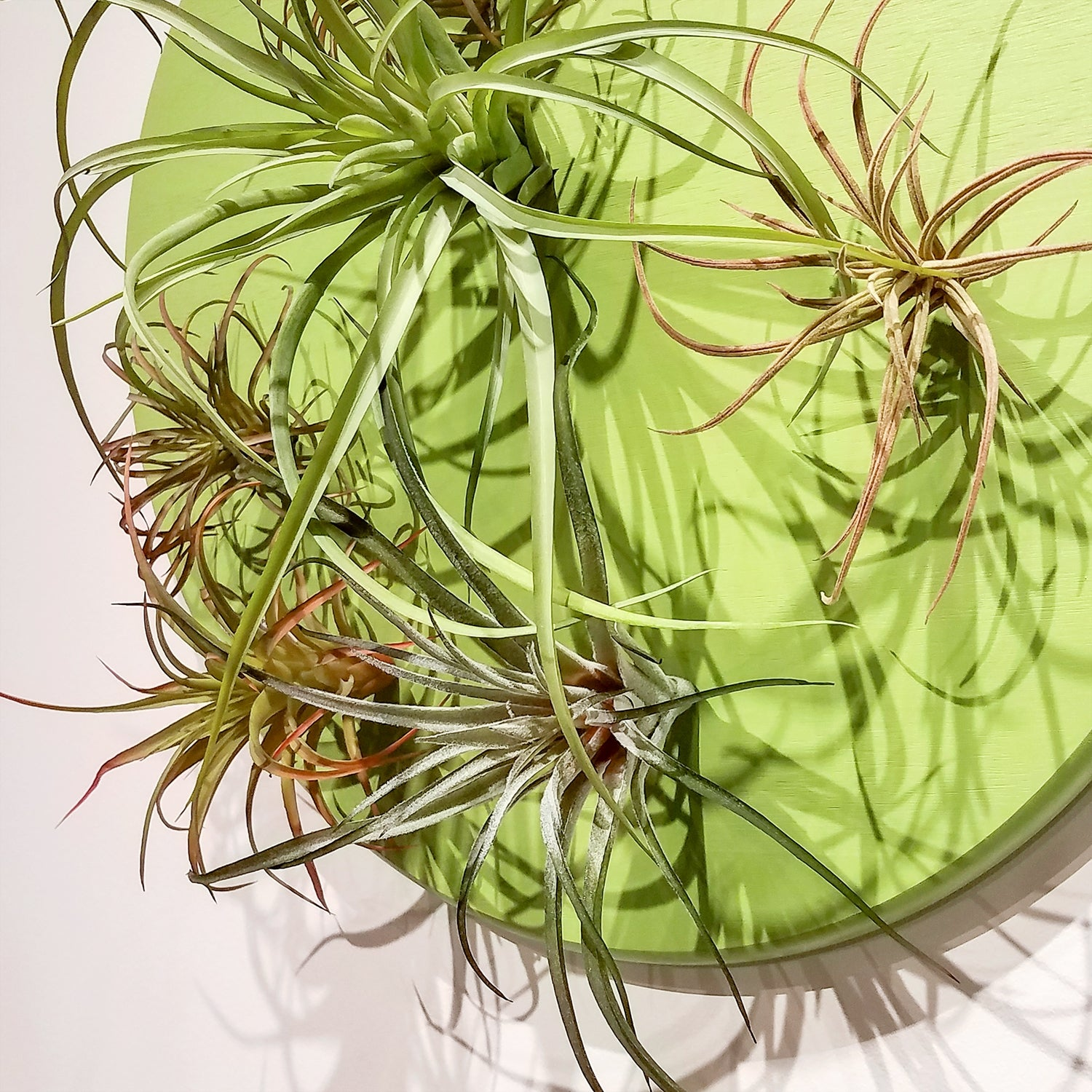 Green Wall, Air Plant Mix, SM