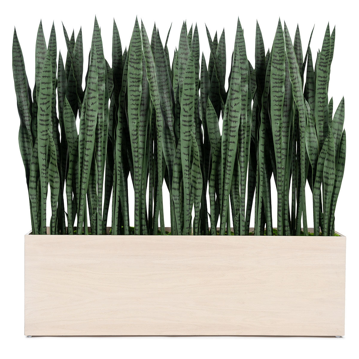 Sansevieria in Whitewash Rectangle Planter