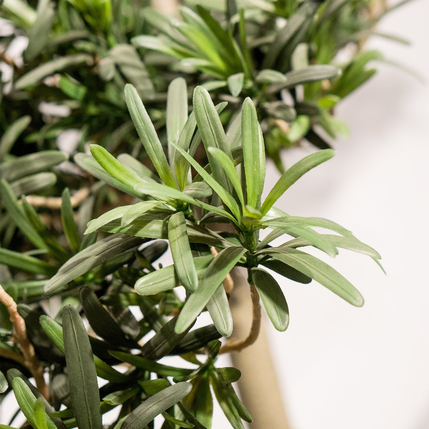"Podocarpus Tree 92""H, Potted"