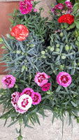 Dianthus / Carnations