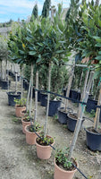 Laurus Nobilis / Bay leaf tree topiary Large