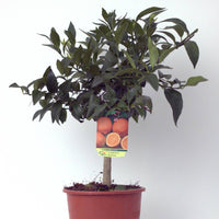 Red Lemon (Limone Rosso) Tree Pot size 20cm