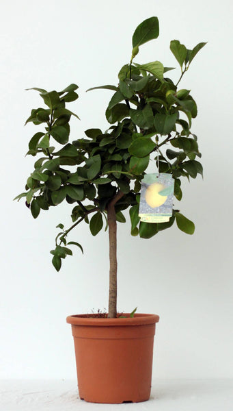 Lemon (Limone) Tree Pot size 20cm
