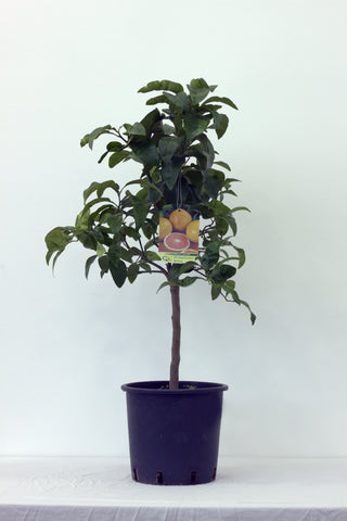 Grapefruit (Pompelmo Rosa) Tree Pot size 20cm