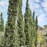 Cupressus Sempervivens P18 0.90/1 mtrs Height