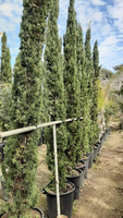 Cupressus Sempervivens P50 2.50/3 mtrs Height