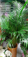 Areca Palm Large Height 160cm
