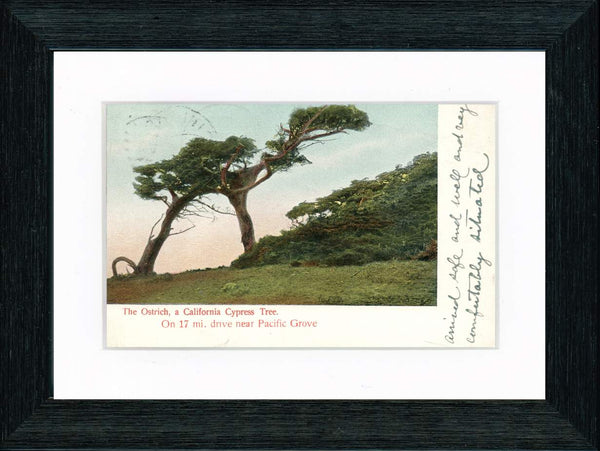Vintage Postcard Front - California Cypress Tree—Pacific Grove