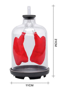 Lung Respiration Model Pulmonary respiratory model Human respiratory system model septum muscle simulates movement