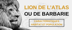 Lion de l'Atlas et de Barbarie.