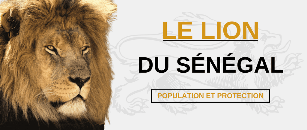 Lion du Sénégal