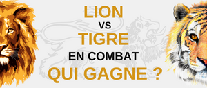 Lion VS Tigre, qui combat ?