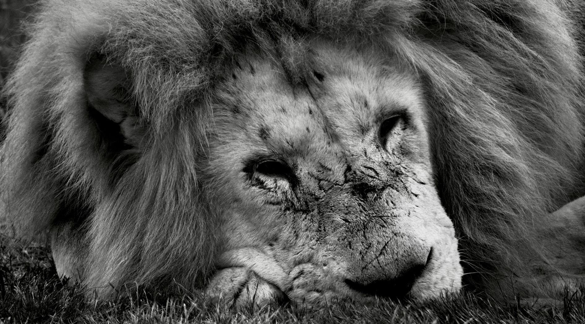 Photo lion en noir et blanc.