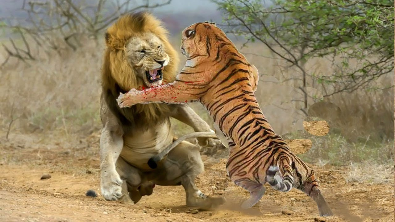 Lion VS Tigre.