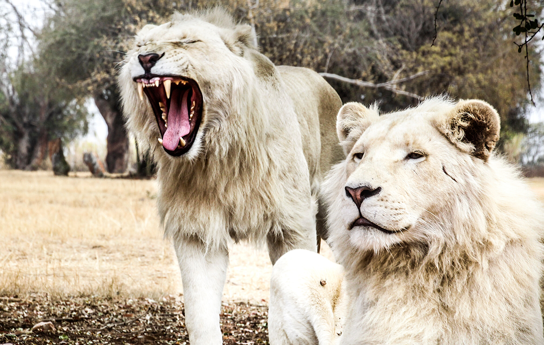 Lions blancs Africain.