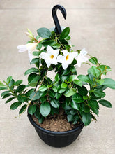 "Load image into Gallery viewer, 11"" Hanging Basket - Mandevilla"