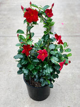 "Load image into Gallery viewer, 9"" Pot - Mandevilla"
