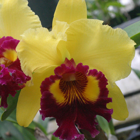 "Blc. Kakemizu Splendor (Williette Wong `The Best' AM/AOS x Oconee) Seedling  2.5"" Pot"