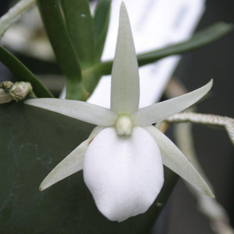 "Angcm. didieri Species Angraecum 2"" Pot - Waldor Orchids"