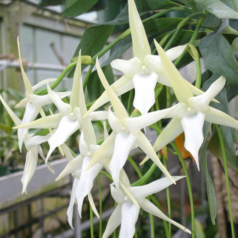 "Angcm. Crestwood `Three Spur' Angraecum 2.25"" Pot"
